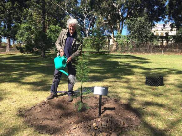 Michael Leunig waters in the newly planted Saharan cypress, Cupressus dupreziana