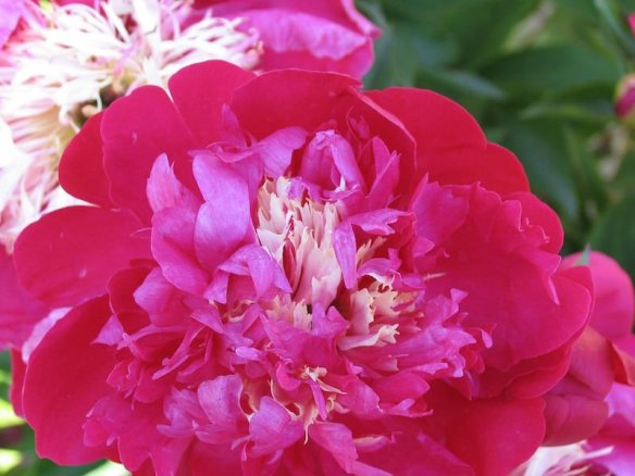A fat and luscious Parc de Bagatelle peony