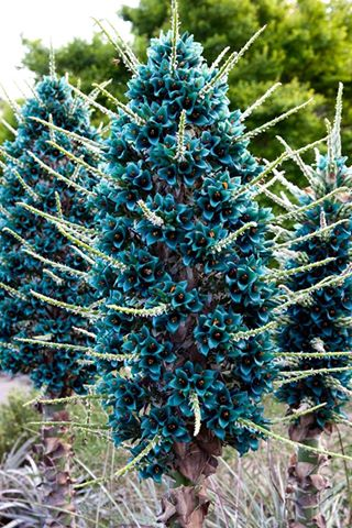 Puya at Mt Tomah