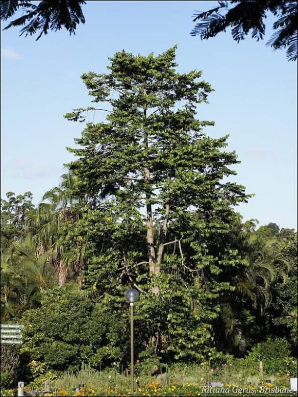 Cananga odorata, ylang ylang tree in Brisbane. Photo Tatters ❀