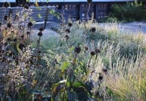 Spent flower heads against a backdrop of Calamagrostis 'Karl Foerster'