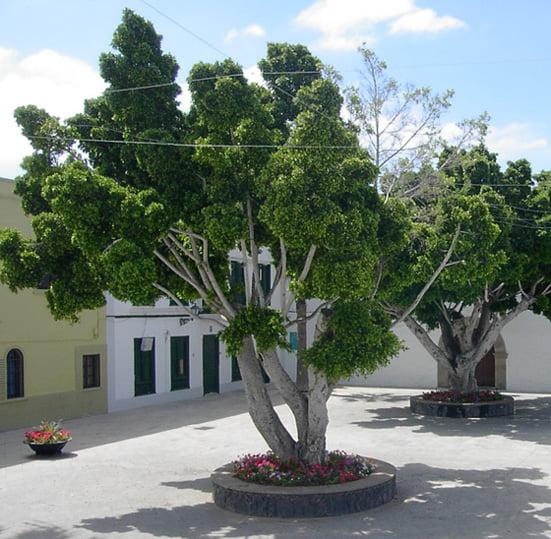 Ficus benjamina in Teneriffe