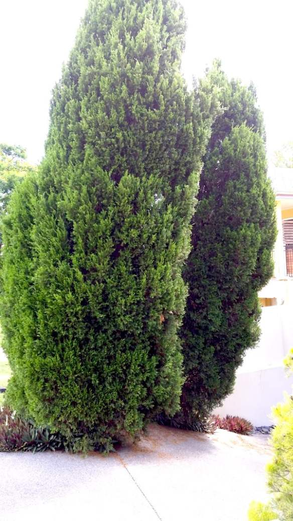 Many conifers, especially those with tight foliage, tend to be prone to fungal diseases in humid climates