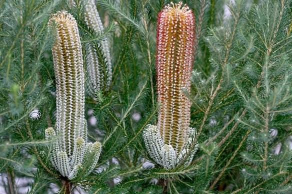 Banksia ericifolia 'Bronzed Aussie', in my garden in western Sydney, photo by Karlo Taliana