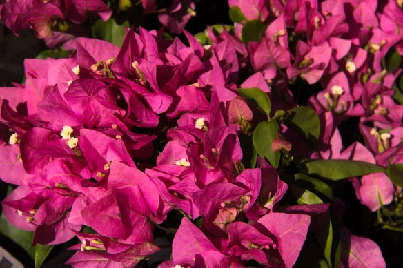 Bougainvillea 'Vera Lynn' has deep pink bracts