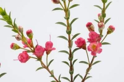 Chamelaucium x Verticordia 'Rey