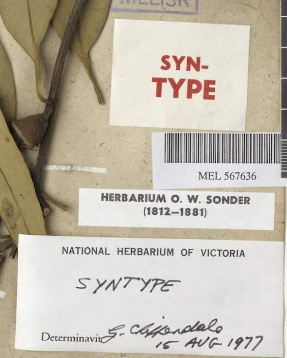 Herbarium labels on Eucalyptus cosmophylla