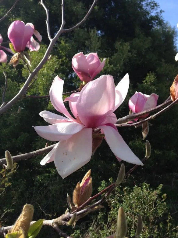 Beautiful spring flowers on Magnolia