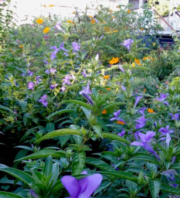 Blue Barleria with orange cosmos