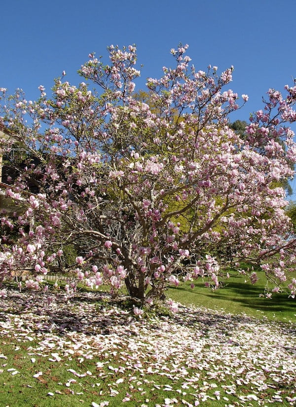 How To Prune A Magnolia And How Not To Prune A Magnolia Gardendrum