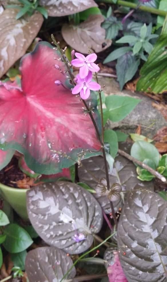Pseuderanthermum alatum, chocolate plant