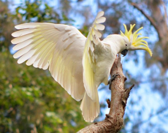 Sulphur-crested cockatoo - Cacatua galerita. Photo John Turnbull
