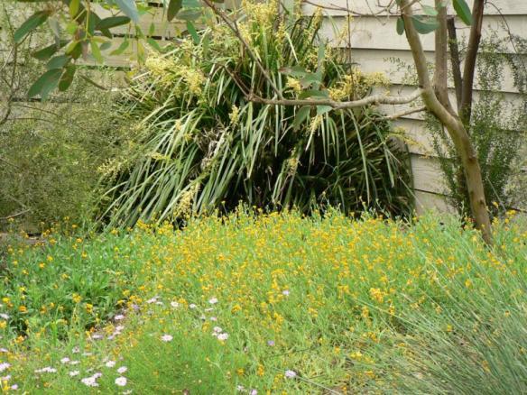 Lomandra hystrix (Creek Mat-rush), Snape garden