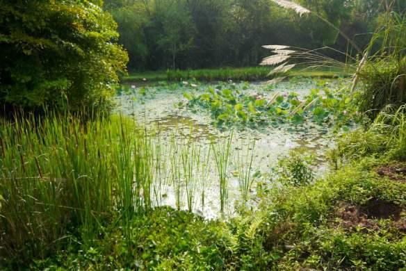 Pha Tad Ke Botanical Garden Laos - water lily pond