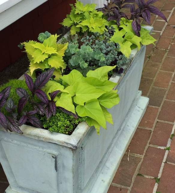 Strong colour contrasts in this container with purple Strobilanthes dyeriana, golden Ipomaea and Solenostemon and blue-green succulent