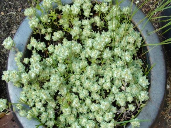 Actinobole uglinosum