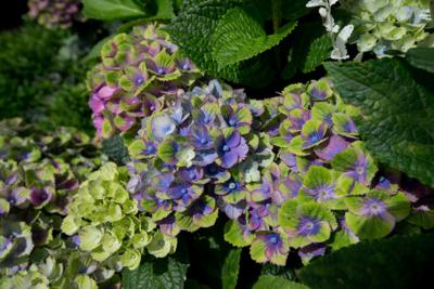 Hydrangea 'Magical Amethyst Blue'. The Championships 2016 at The All England Lawn Tennis Club, Wimbledon. Day -3 Friday 40/06/2016. AELTC/Gary Hershorn