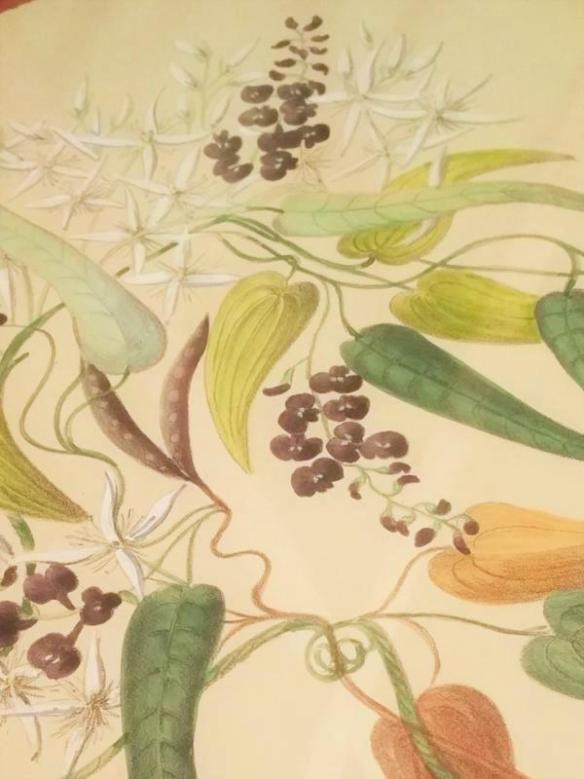Hardenbergia monophylla and Clematis glycinoides_The Artist and the Botanical Collector