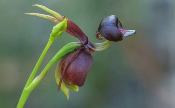 Caleana major (Large Flying Duck Orchid) showing the remarkable resemblance to a duck in flight