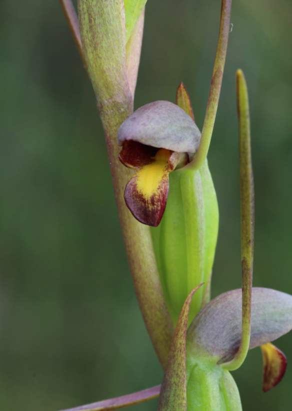 Orthoceras strictum (Horned Orchid) is a self-pollinating orchid