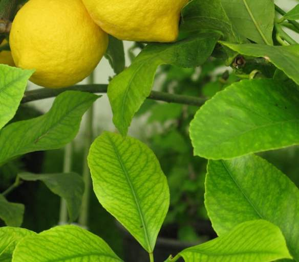 Lemon tree showing iron deficiency on leaves. Photo greghristov
