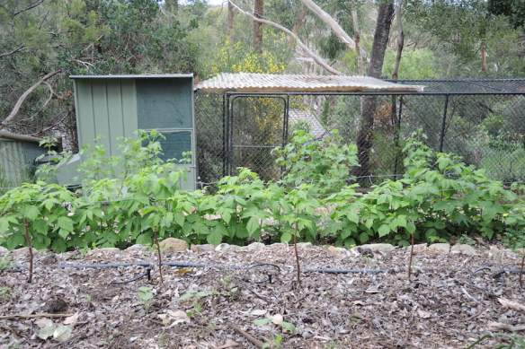 In the foreground is the new planting of summer raspberries and behind are the established autumn raspberries
