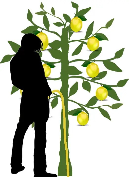 man peeing on lemon tree