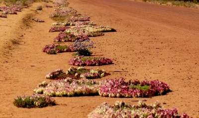 hundreds-of-was-famous-red-wreath-flowers-line-the-road-near-mullewa