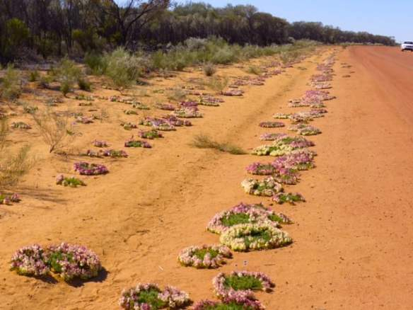 Hundreds of red wreath flowers in Western Australia 2016. Photo Helen Young