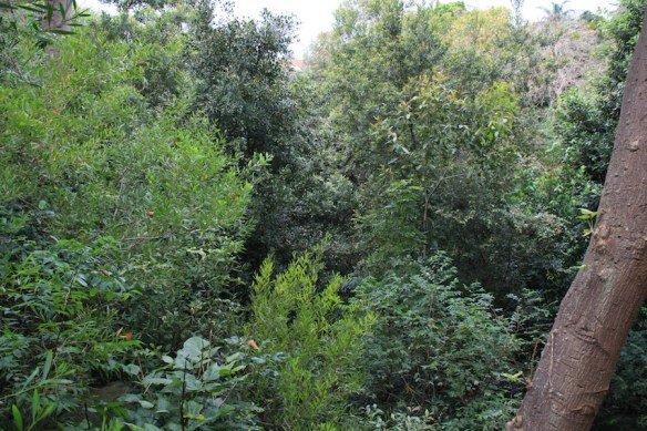 Young rainforest canopy of the revegetation project in the gully, Bronte