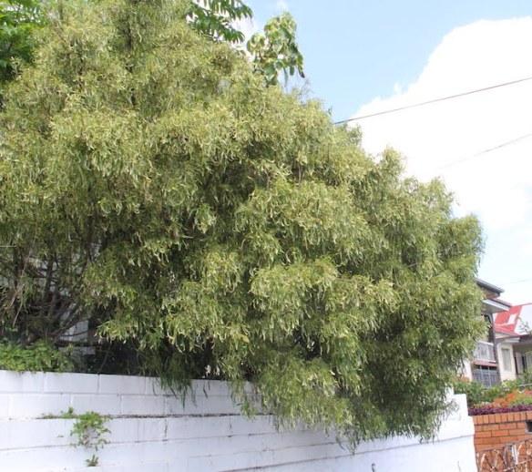 An ancient Acalypha 'Godseffiana' in a West End Garden