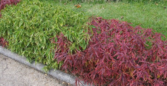 Acalypha 'Goldfire' and Acalypha 'Firestorm' used as a low hedge in Noumea