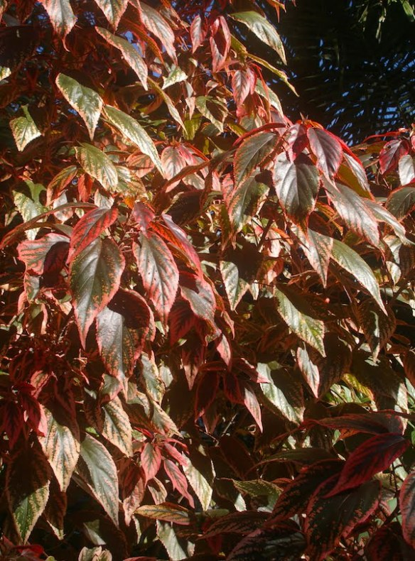 Pink extends into the bronze leaf of Acalypha 'Spitfire'