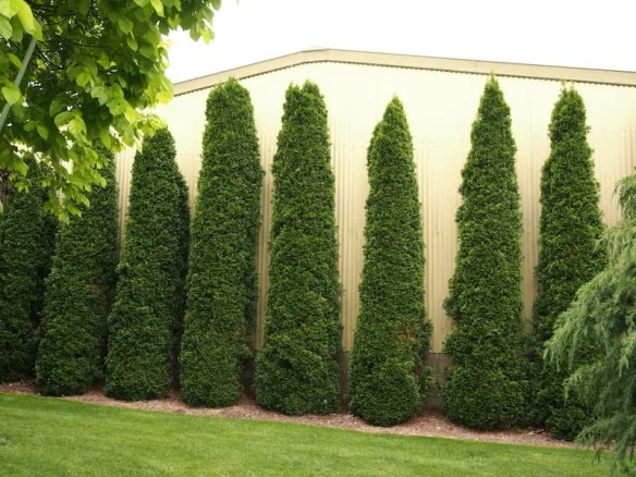 A line of conifers stands guard in this Bathurst garden