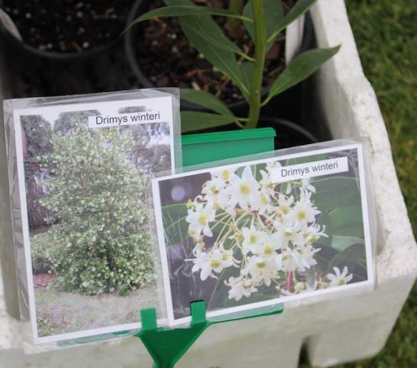 Drimys winteri for sale from the Friends of the RBG at the Botanic and Rare Plant Fair Melbourne