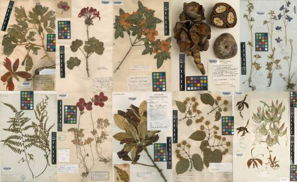 Sample of herbarium specimens in Kew's collection