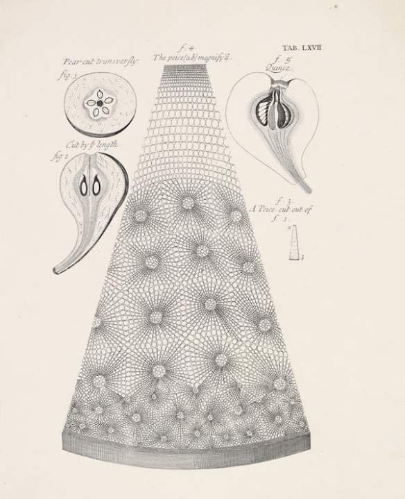 View of a pear, made possible with the invention of the microscope. From Robert Hooke's Micrographia
