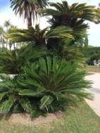 Cycads in the Exotic Garden, Villa Ephrussi de Rothschild
