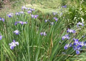 Louisianna iris