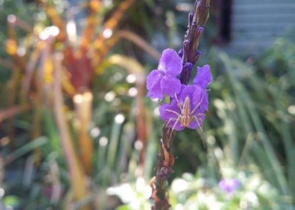 Stachytarpheta, blue monkey tails flower