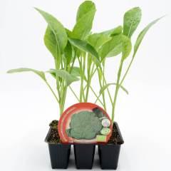 plantel-brócoli
