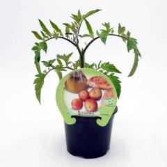plantel-tomate-colgar