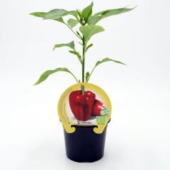 plantel-pimiento-rojo
