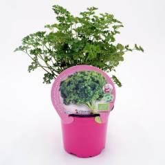 plantel-perejil-rizado