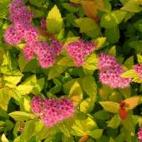 Spirea japonica Plant - Magic Carpet - Trees and Shrubs ...