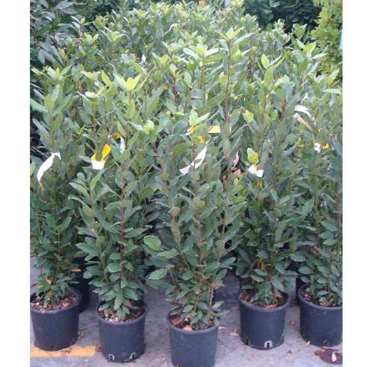 Laurus nobilis Plant  Trees and Shrubs  Flowers  Garden