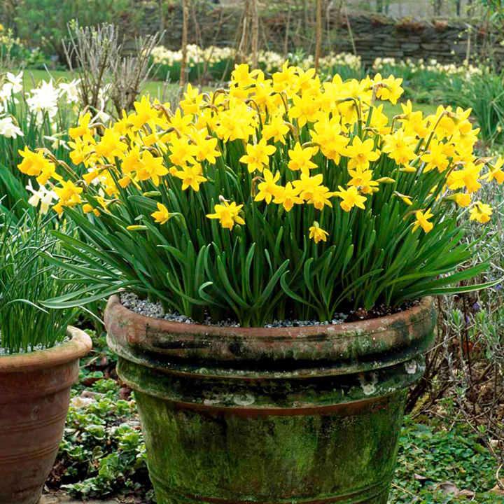 Daffodil Bulbs  TeteaTete  Dobies