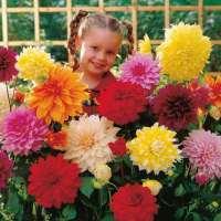 Dahlia Tubers - Dinner Plate Mix - All Flower Bulbs ...