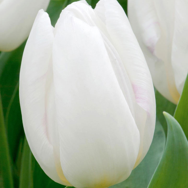 Tulip Bulbs  White Collection  Dobies