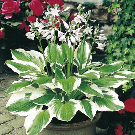 hosta patriot - perennial plants